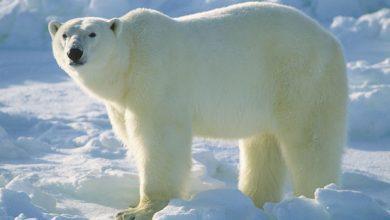 Photo of جدال حیرت انگیز خرس قطبی و گراز دریایی