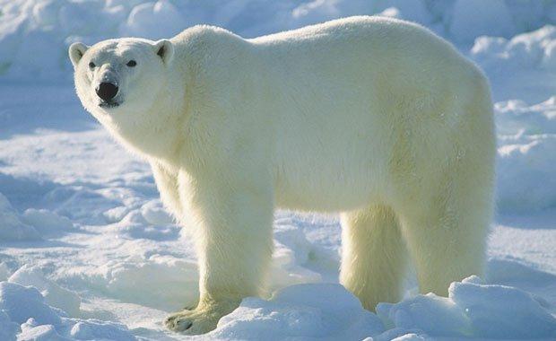 جدال حیرت انگیز خرس قطبی و گراز دریایی