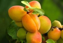 Photo of زرد آلو از سری میوه های پرخاصیت خواص و مضرات