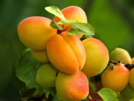 زرد آلو از سری میوه های پرخاصیت خواص و مضرات