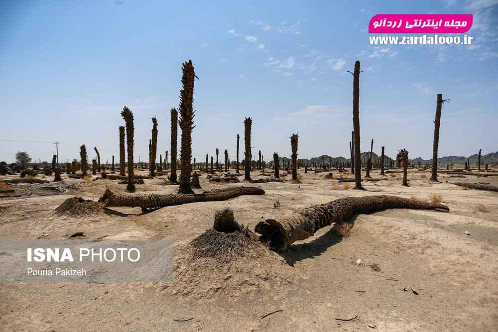 نخلستانهایی که به علت خشکسالی و کم آبی، یکی پس از دیگری در این مناطق سرفرود میآورند.