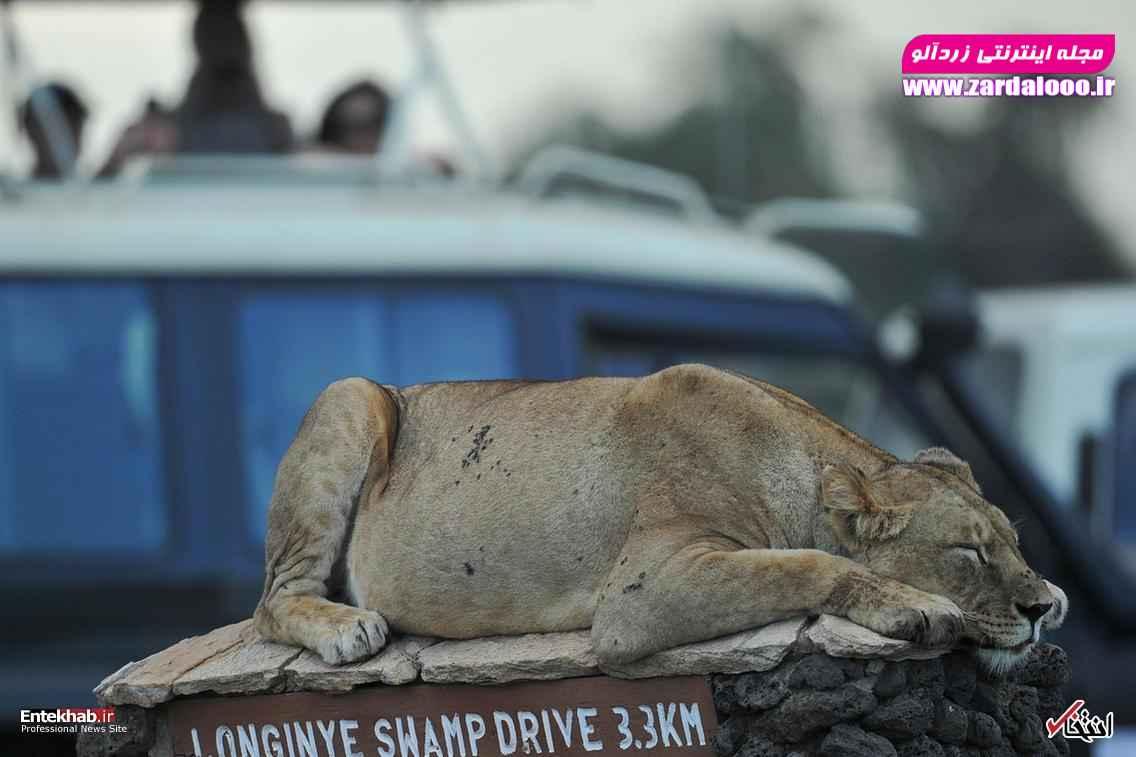 یک شیر در حال استراحت در پارک ملی کنیا