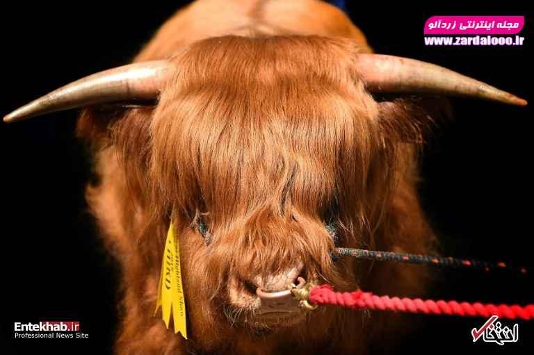 یک گاو در نمایشگاهی در ادینبورگ
