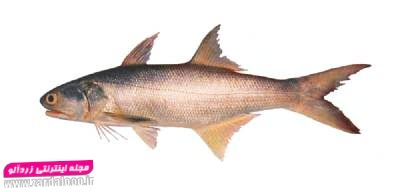 ماهی راشکو