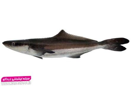 ماهی سکن یا سوکلا