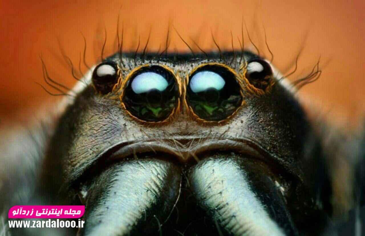 تصویر میکروسکوپی از چشم عنکبوت / عنکبوت ها معمولا دارای هشت چشم با چیدمانهای مختلفند.