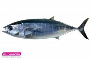 فروش ماهی هوور یا ماهی تن تازه صید روز ارسال از بندر عباس