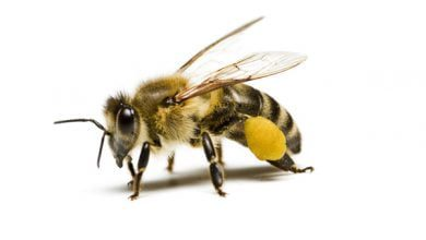 Photo of 5 توانایی خارق العاده زنبور عسل